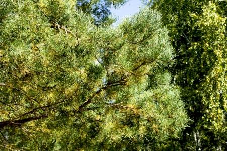 Heldergroene stekelige takken van een bontboom of pijnboom