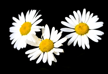 daisy stem: white daisy on a black background