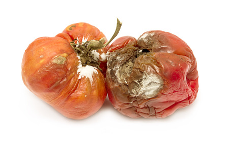 rotten old tomato with mildew isolated on white background photo