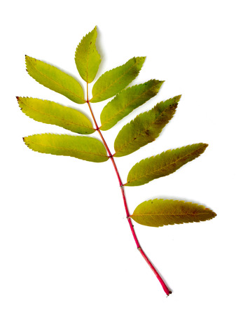 sorbus: Leaf of a mountain ash, it is isolated on white