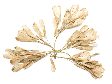 Dry seeds of maple on a white background photo