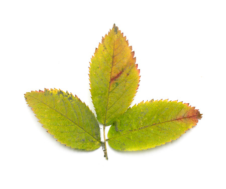 Autumn leaves on a white background photo
