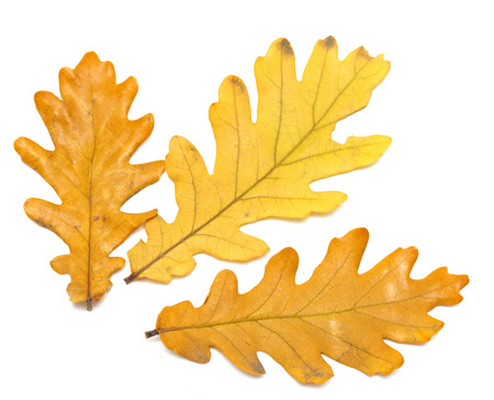 yellow oak leaves on a white background photo