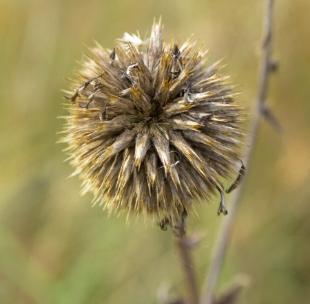 bud weed: A close up on a bud of a thistle weed with prickly spikes