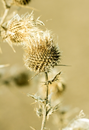 A close up on a bud of a thistle weed with prickly spikes