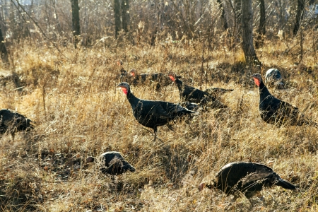 wild turkeys in the woods on the nature Stock Photo - 23656080
