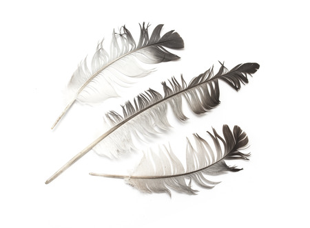 Feather isolated on the white photo