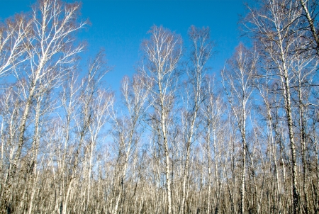 tree of the birch by autumn in wood photo