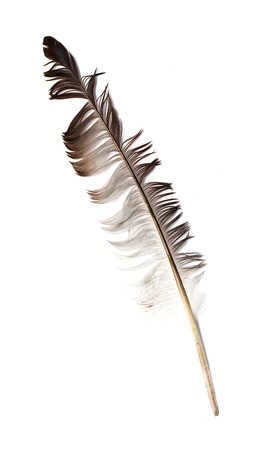 Feather isolated on the white background photo