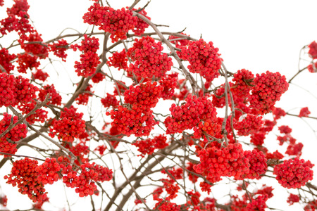 red bunches of rowan on white background photo