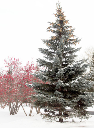 winter landscape, spruce, rowan photo