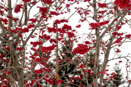 winter landscape, rowan in the snow photo
