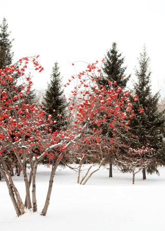 winter landscape, rowan in the snow photo