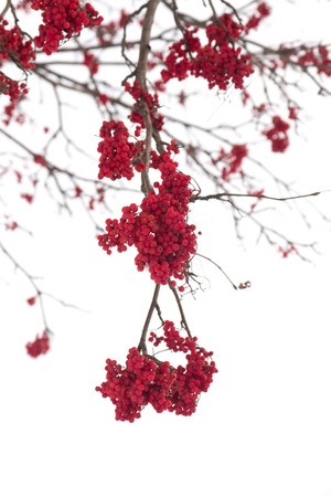 bunchy: red bunches of rowan on white background Stock Photo