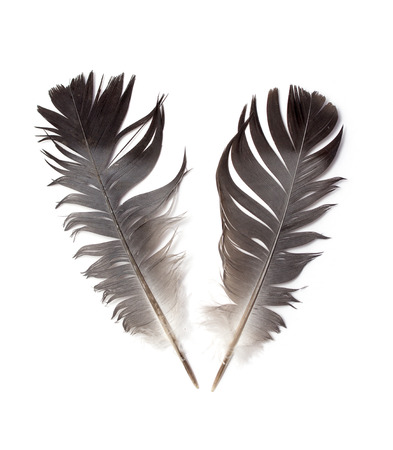 feather of a bird on a white background photo