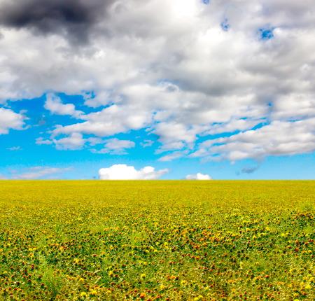 Blooming Carthamus tinctorius (false saffron) against the blue sky with clouds Stock Photo
