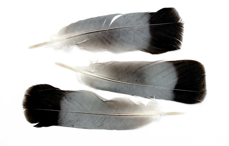 lightly: Feather isolated on the white background
