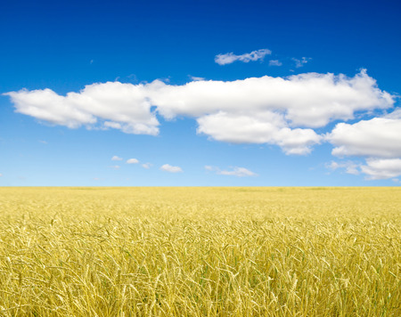 Golden wheat field with blue sky in background photo