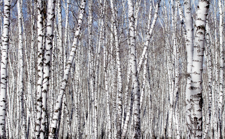White birch tree in early spring photo