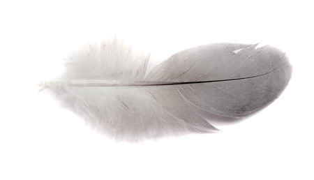 white feather: bird feather isolated