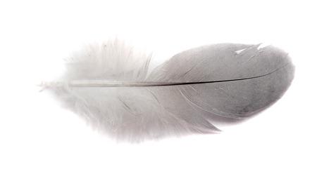 piuma bianca: piuma di uccello isolato