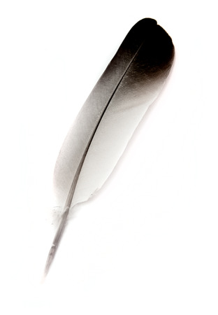 lightly: bird feather isolated on background