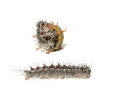 encapsulated: Gypsy moth caterpillar (Lymantria Dispar)