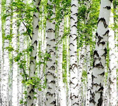 夏の森白樺の木