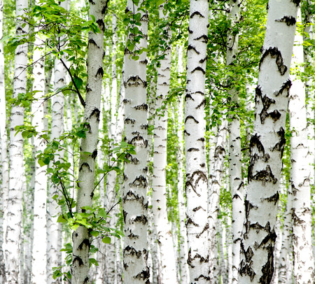 birch bark: White birch trees in the forest in summer