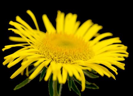 Yellow daisy looking like sunflower photo