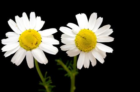 daisy stem: white daisy flower against black background Stock Photo