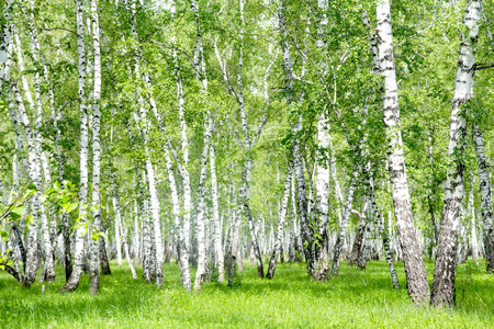 White birch trees in the forest in summer Reklamní fotografie - 29694963