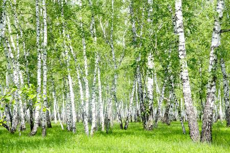 Witte berkenbomen in het bos in de zomer Stockfoto