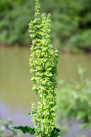 acetosella: Plant background of flowering Rumex acetosella (Sheep Sorrel)