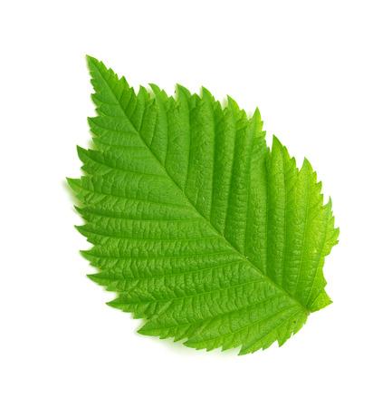 green leaf on white background Foto de archivo