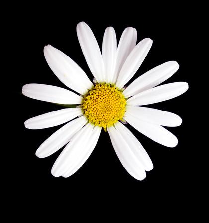 daisy stem: Macro shot of white daisy flower against black background