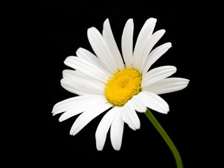 white daisy flower against black background Foto de archivo