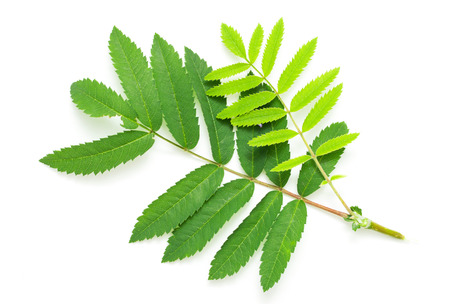 sorbus: Green leaves of a mountain ash on a white background Stock Photo
