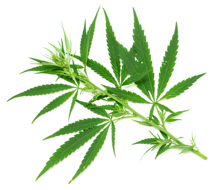 medicinal leaf: Green leaf of marijuana