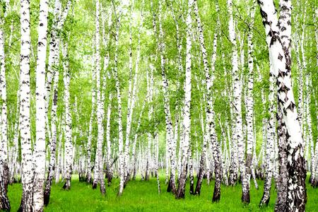 Witte berken in het bos in de zomer