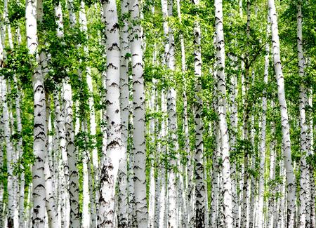 birch bark: White birch trees in the forest in summer
