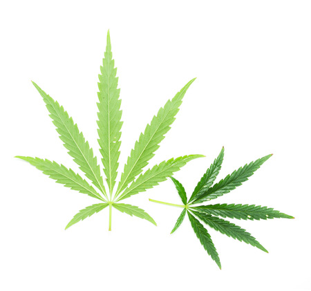 Green leaf of marijuana photo