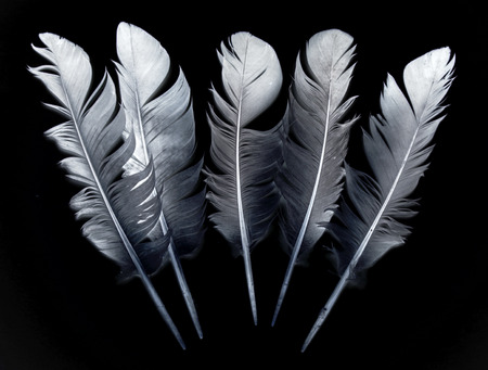 falling feather: bird feather on black background
