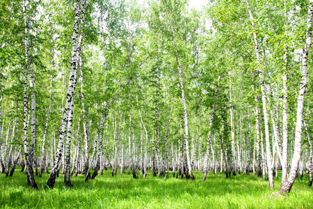 White birch trees in the forest in summer photo