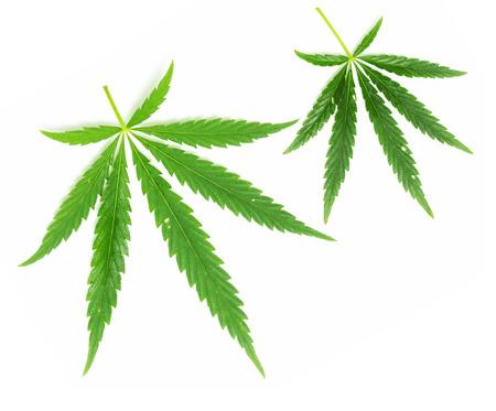 hoja marihuana: Hoja verde de la marihuana