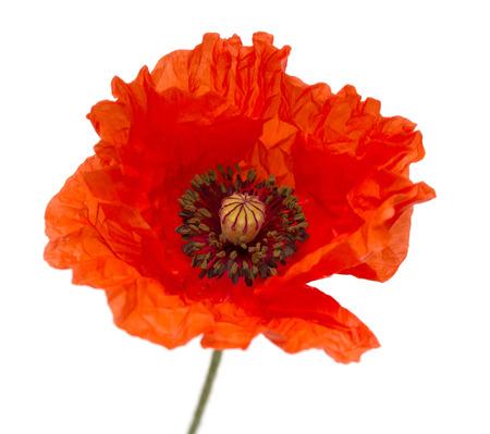 赤いケシの花のフィールド 写真素材