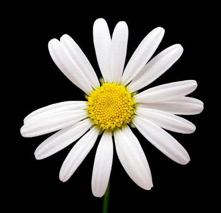 Macro shot of white daisy flower against black background photo
