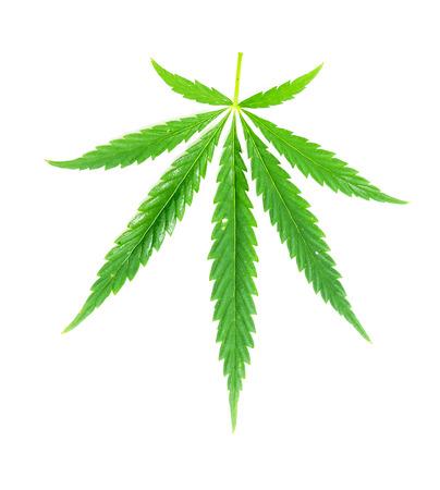 marihuana leaf: Hoja verde de la marihuana