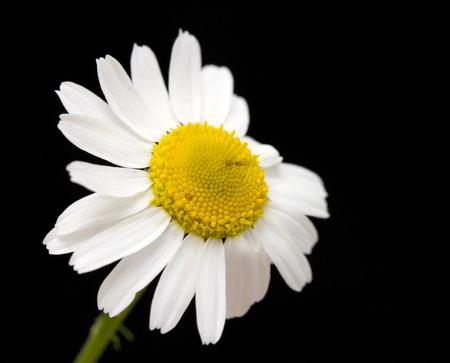 white daisy flower against black background photo