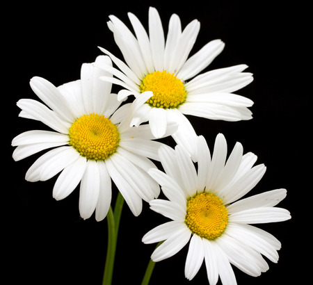 white daisy flower against black background stock photo picture and